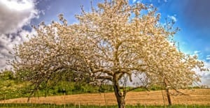 photo of a single apple tree in a field